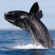 North Atlantic Right Whale (c) RTSea Blog