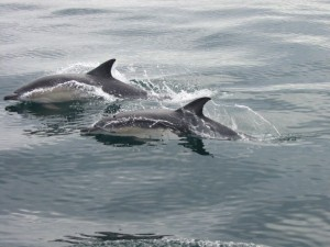 Short Beaked Common Dolphins