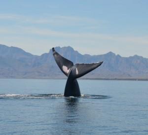 Blue Whale peduncle waving