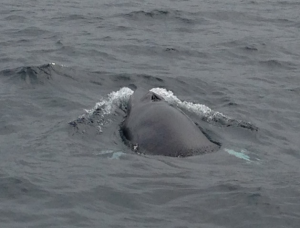 Young Minke Whale surfaces by boat